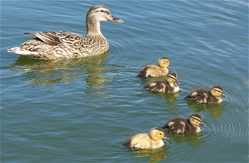 ducks-duckling