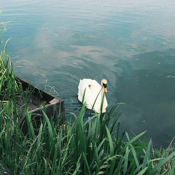 Picture Eight: Swanald himself. Despite his aggressiveness over the nest, he seems totally uninterested in his newly-hatched offspring, who, when I took this photo, were several hundred metres downstream with Mrs Swanald Drumpf, harassing some ducklings. Photo: CL.