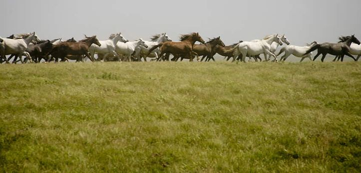 Horses in gallop