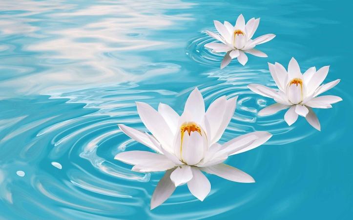 lotus-flowers