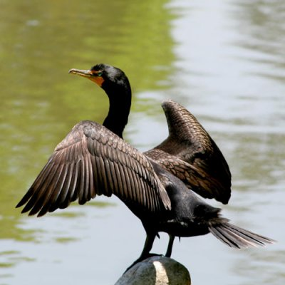 double-crested-cormorant