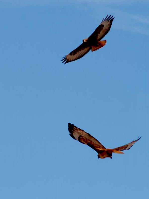 two-hawks