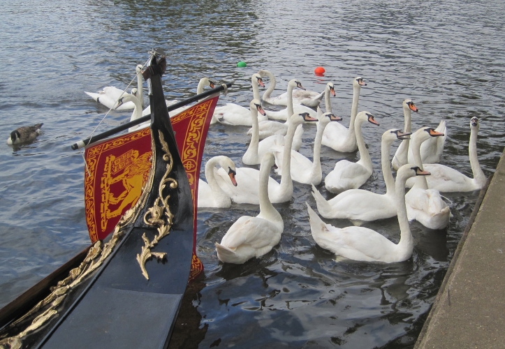 swans-at-stratford-river-festival