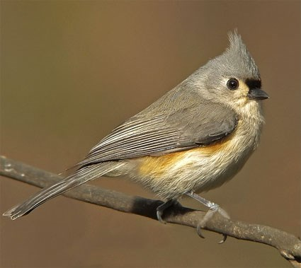 tufted_titmouse_1